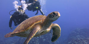 Scuba divers with green sea turtle
