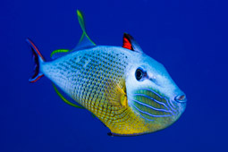 Many Easter Island fish have beautiful colors..jpg