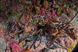 Easter Island Spiny Lobster, Panulirus Pascuensis.jpg