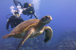 Scuba divers with green sea turtle..jpg
