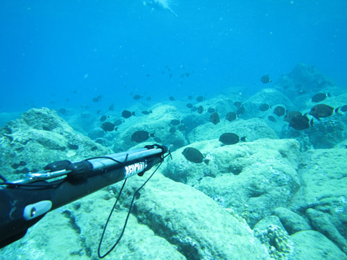 Spearfishing at Easter Island with harpoon, maito fish school